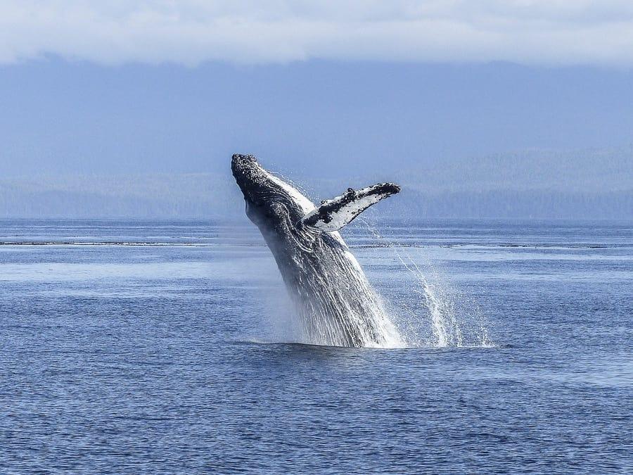 Humpback Whale 900